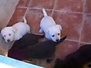 Cachorros de labrador_1