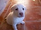 Cachorros de labrador_3