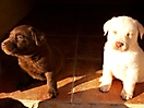 Cachorros de labrador_4