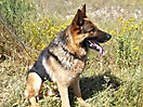 Cachorros pastor aleman_12