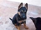 Cachorros pastor aleman_1