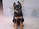 Cachorros pastor aleman_2