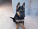 Cachorros pastor aleman_3