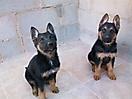 Cachorros pastor aleman_4