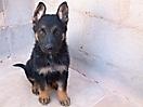 Cachorros pastor aleman_5