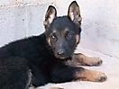 Cachorros pastor aleman_6