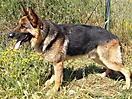 Cachorros pastor aleman_8