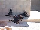 Cachorros de Rex_10