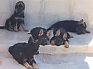 Cachorros de Rex_8