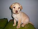 Labrador amarillo_2