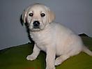 Labrador amarillo_3